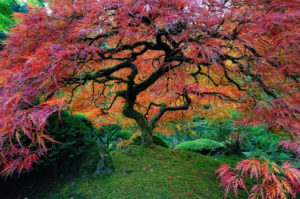 Japanese Maple Tree - Portland, Oregon