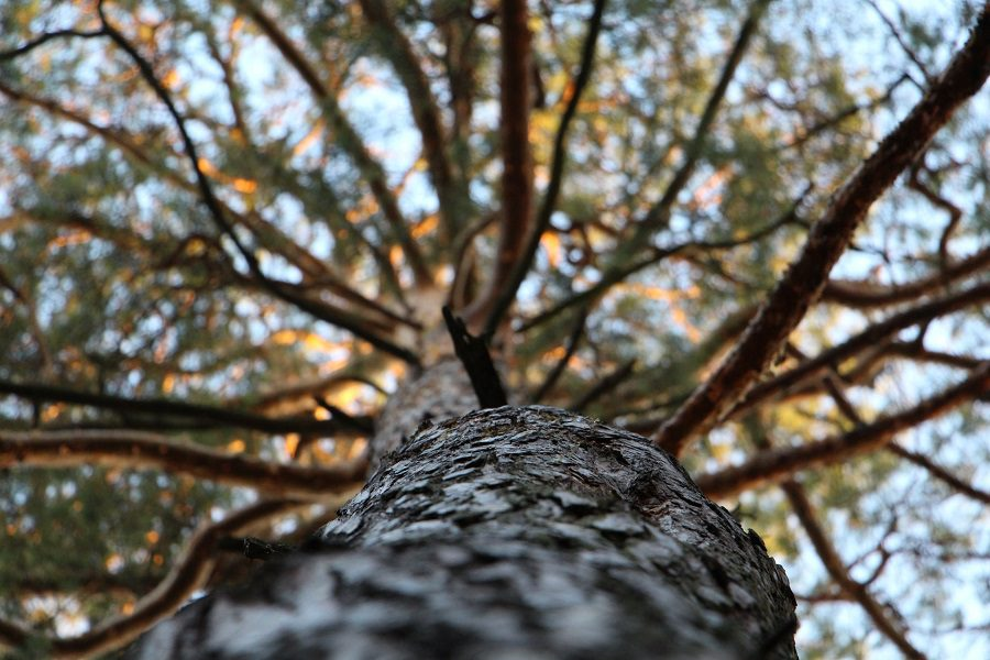 Why Topping is NOT a Recommended Tree Care Solution
